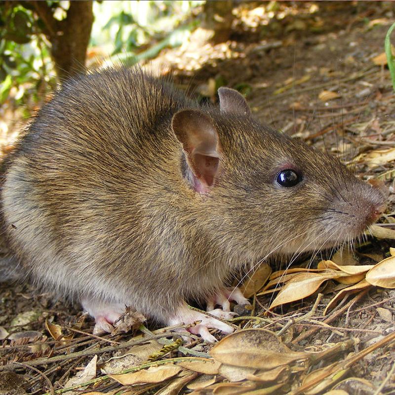 для дорогой лесные крысы фото размещена